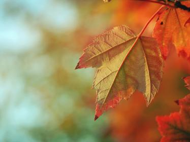 maple leaf, leaves, trees, branches, fall, autumn, nature