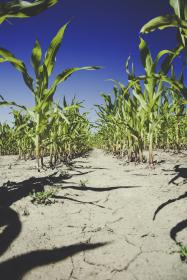 nature, corn, field, leaves, dry, cracked, soil, ground, sky, clouds, shadows, blue, green
