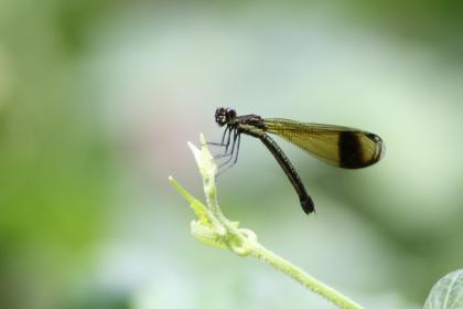 green, plant, nature, blur, dragonfly, insect, outdoor, wing