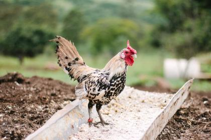 farm, field, rooster, chicken, bird, animal, nature, outdoor, pet