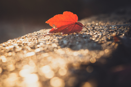 red,  leaf,  autumn,  fall,  nature,  maple,  seasonal,  vibrant,  tree,  foliage,  outdoors,  bokeh,  minimal