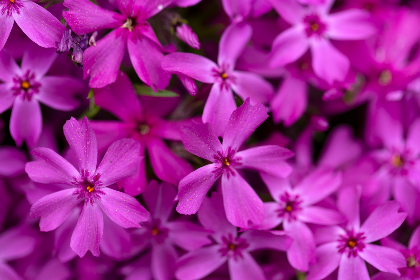 purple,  flowers,  background,  nature,   outdoors,   fresh,   petals,   pollen,   bloom,   blossom,   botany,   pretty,   wallpaper,   natural,   organic,   bokeh