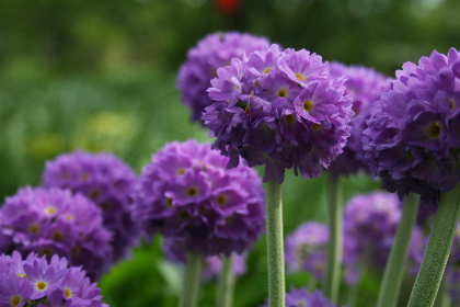 purple,   flowers,   nature,   round,   blossom,   flora,   garden,   field,   ornamental,   plant,   spring,   flower