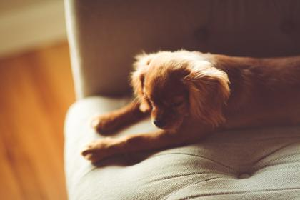 puppy, pet, dog, animal, couch