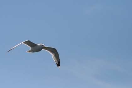 seagull,  flying,  nature,  seabird,  bird,  sky,  flight,  wings,  air,  blue,  animal,  wildlife,  soaring,  feather