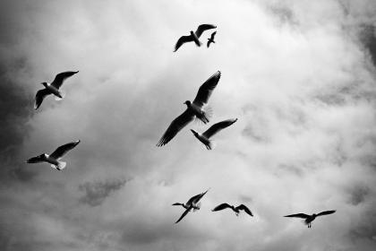 birds, wings, flock, flying, animals, sky, clouds, cloudy, black and white