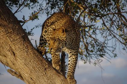 tree, wood, nature, plant, animal, leopard, sky, clouds