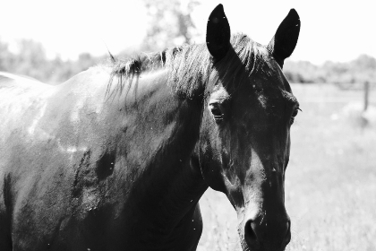 horse,  head,   sunny,   animal,   farm,   equine,   equestrian,   nature,   close up,   outdoors,  monochromatic