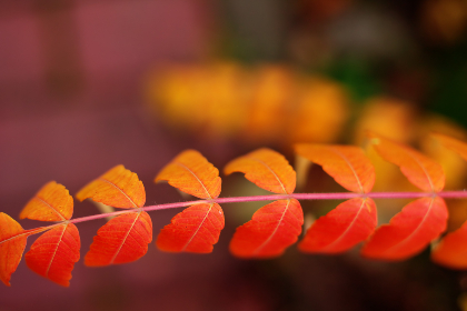 orange,  red,  leaves,  atumn,  fall,  season,  nature,  tree,  color,  bright,  blur