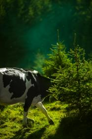 free photo of cow  animal
