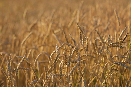 wheat,   background,   autumn,   nature,   field,   grass,   agriculture,   grain,   organic,   food,   harvest,   golden,   farm,   crop,   fall, wallpaper