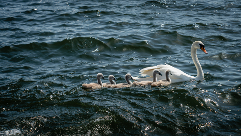 swans,  swimming,  water,  lake,  river,  animal,  white,  bird,  beak,  feathers,  family,  waves,  ripple,  wildlife