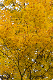 autumn,   tree,   background,   fall,   leaves,   foliage,   colorful,   branches,   forest,   nature,   outdoors,   leaf,   golden,   seasonal