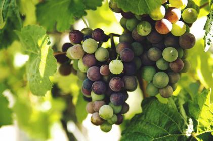 nature, vines, leaves, branches, grapes, spheres, vineyard, still, bokeh