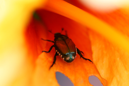 beetle,   macro,   flower,   insect,   close up,   bug,   plants,   floral,   animal,   nature,   wild,   colorful,  crawling,  inside