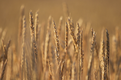 wheat,  background,  autumn,  nature,  field,  grass,  agriculture,  grain,  organic,  food,  harvest,  golden,  farm,  crop,  fall
