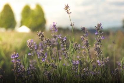 flowers, field, grass, nature, rural, countryside, purple