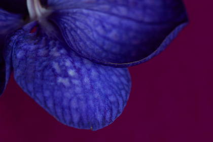 orchid,  flower,  leaves,  close up,  purple,  petal,  horticulture,  plant,  botany,  natural,  texture,  background,  nature,  floral