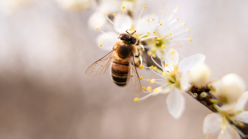 bee,  close-up,  flower,  white,  bumblebee,  sting,  inseact,  plant,  nature,  animals