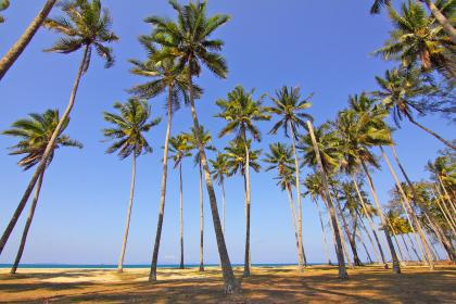 coconut, tree, nature, plant, green, leaves, beach, blue, ocean, sea, water, coast, landscape, sky, sunny, summer, shade, vacation, outdoor, travel