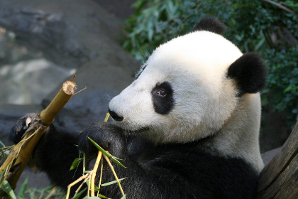 panda,   bear,   animal,   wildlife,   nature,   outdoors,   wild,   zoo,   fur, bamboo