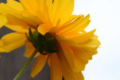 yellow,   flower,   close up,   garden,   fresh,   nature,   outdoors,   colorful,   organic,   natural,   plants,   green,   petals,   stem,   plant,  minimal