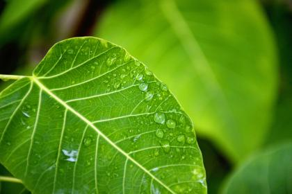nature, plants, green, leaves, veins, water, dew, dewdrops, droplets