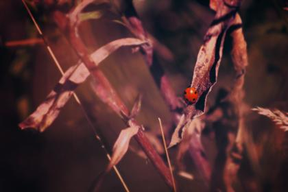 plant, blur, red, beetle, bug, insect