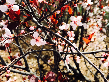 tree,  flower,  branch,  nature,  cherry,  season,  flora,  blooming,  garden,  closeup,  outdoors,  park,  no person,  leaf,  bud,  color,  petal,  shrub,  bright,  floral