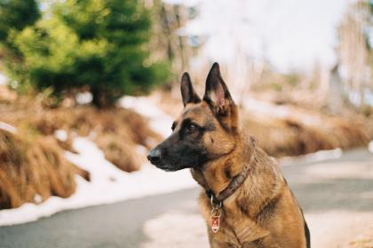 german shepherd, pet, animal, friend, security, guard, dog, blur, bokeh, outdside