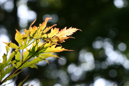 maple,  leaf,  bokeh,  leaves,  outdoors,  light,  nature,  calm,  background,  tree,  green,  copyspace,  daytime,  natural