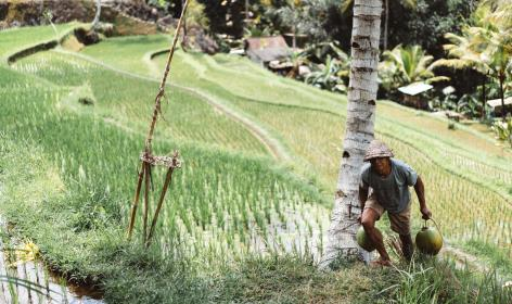 people, man, farming, coconut, tree, rice, field, hut, grass, wood, mountain