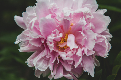 free photo of pink    flower