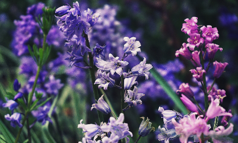 Photo of bluebells