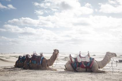 Photo of camel