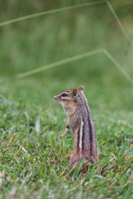 Photo of chipmunk