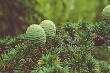 Photo of conifercone