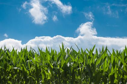 Photo of cornfields