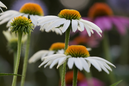 Photo of daisies