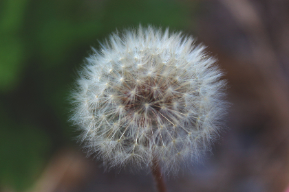 Photo of dandelion