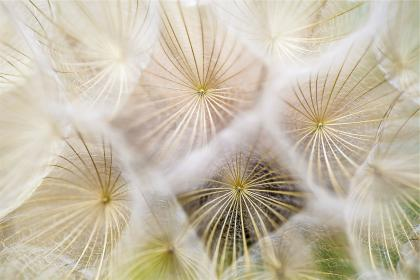Photo of dandelions