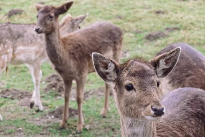 deer wildlife