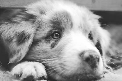 dog AustralianShepherd