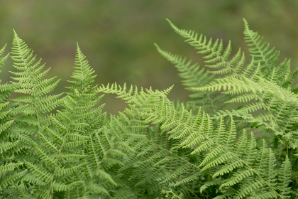 ferns green