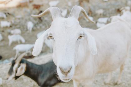 Photo of goat