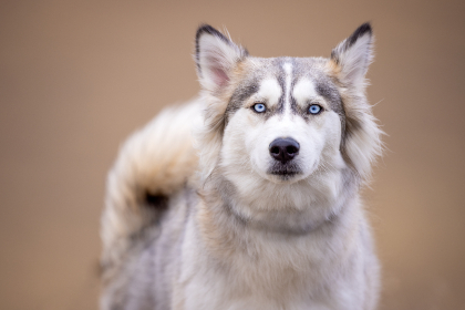 husky animal