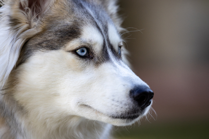 Photo of husky