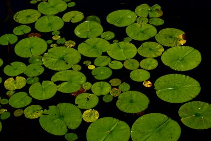 lillypad water