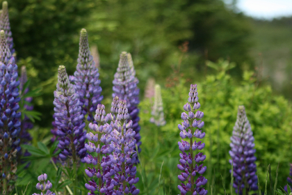 Photo of lupine