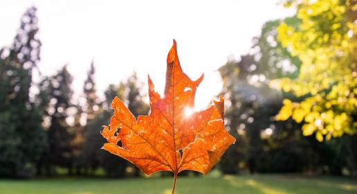 mapleleaf leaves